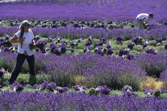 Lavendelernte © Atout France/Emmanuel Valentin