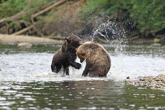 Grizzlys © Andreas Edelmann – stock.adobe.com