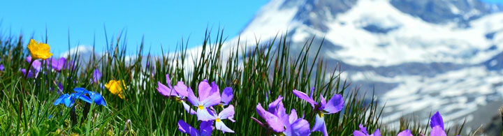 Zermatt - Matterhorn & Krokusse